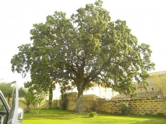 un chêne exceptionnel