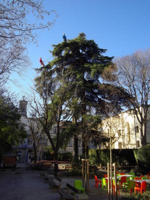 Un beau cèdre à Montpellier